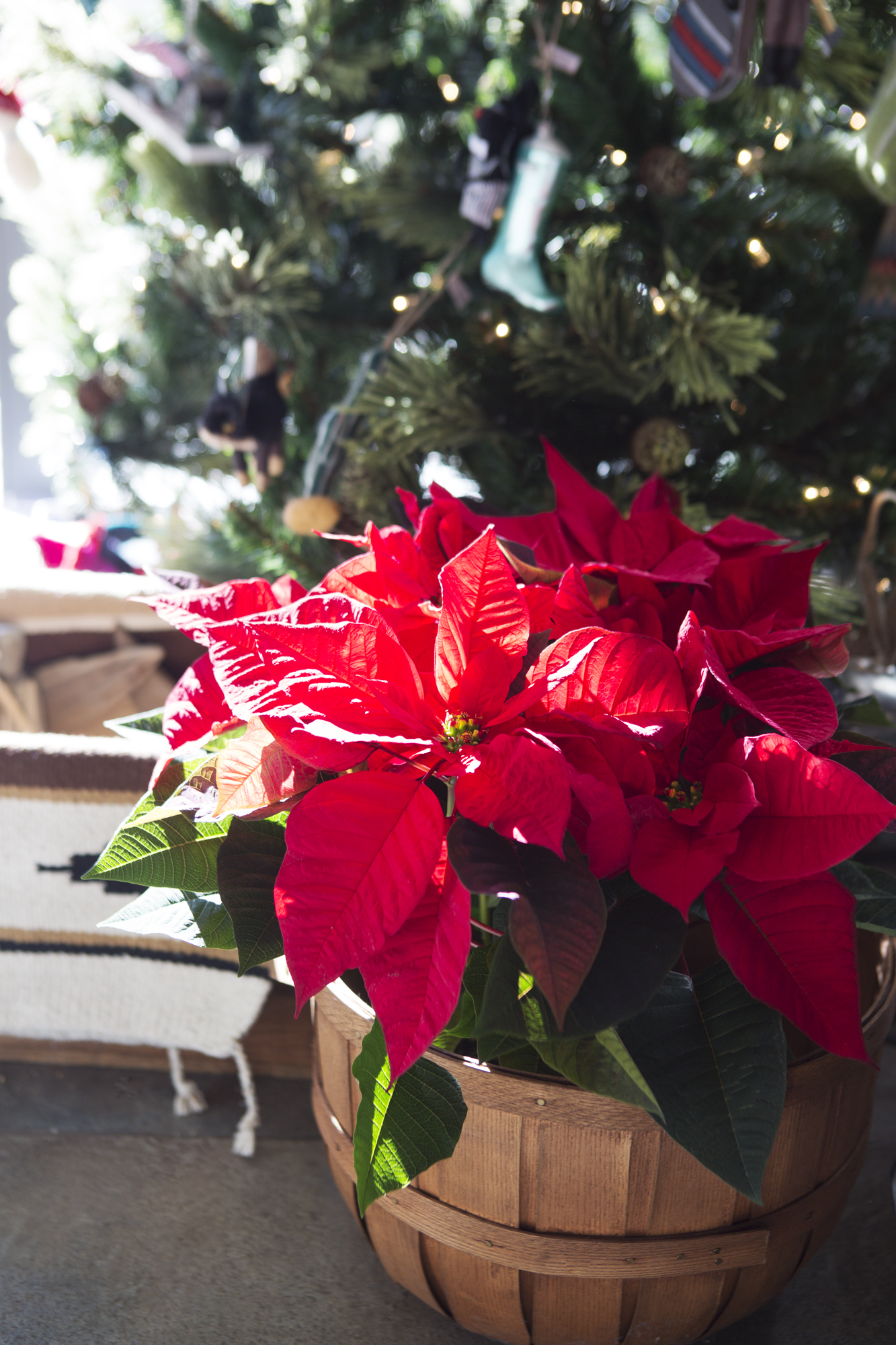 Poinsettia Care In The Home Perfect Poinsettia Care And History