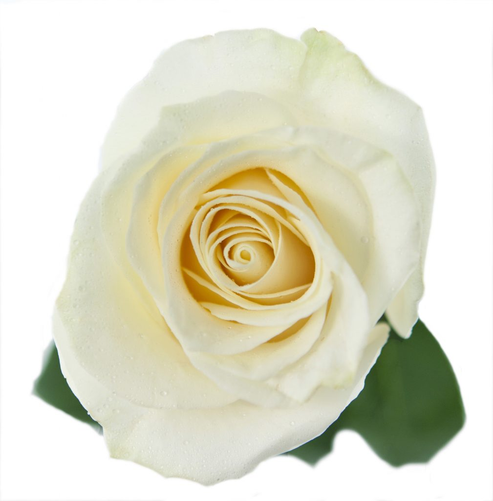 Colombian Premium White Roses - 50CM - Packed 125 Stems (1)