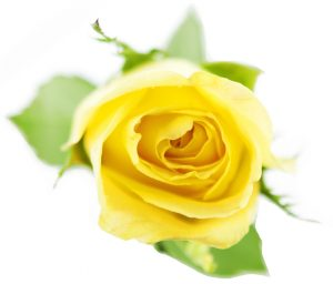 Colombian Premium Yellow Roses - 50CM - Packed 125 Stems