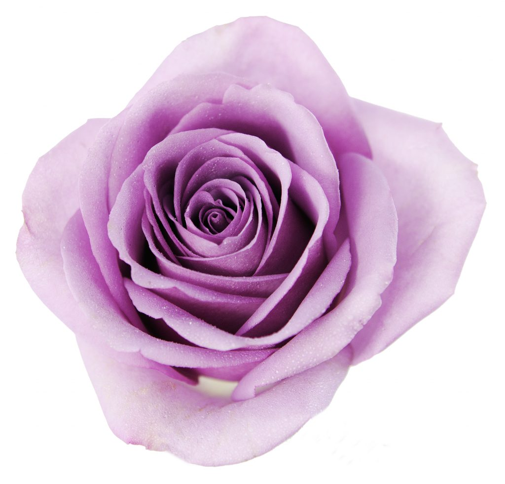 purple rose1 (1)