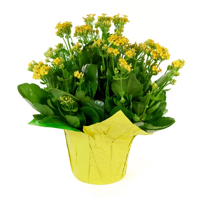 Yellow Kalanchoe Plant (15 Inch Tall) in a 6 Inch Orange Covered Pot