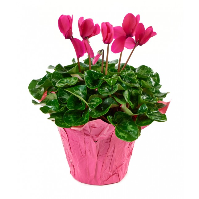 Pink Cyclamen Plant (12 Inch Tall) in a 6 Inch Pink Covered Pot