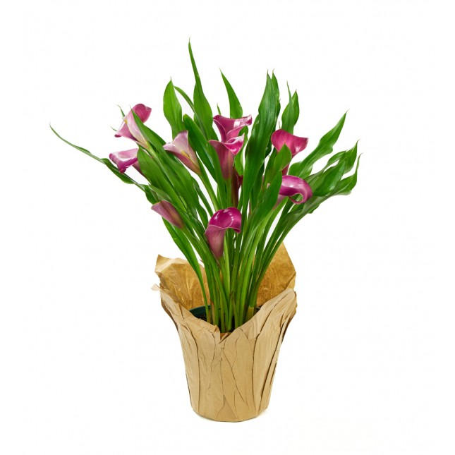 Purple Calla Lily Plant (15 Inches Tall) in a 4.5 Inch Kraft Covered Pot
