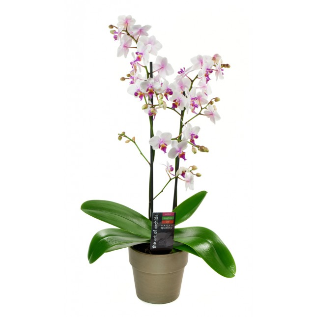 Bicolor Phalaenopsis Orchid Plant in a Grey Terracotta Pot