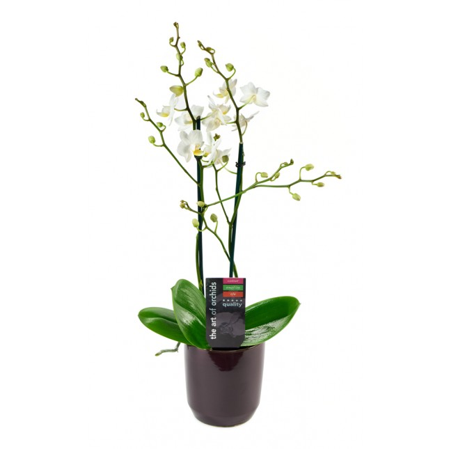 White Phalaenopsis Orchid Plant (18-24 Inches Tall) in a Black Ceramic Bowl Pot