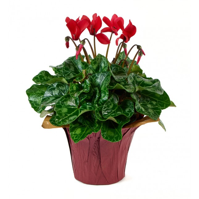 Red Cyclamen Plant (12 Inch Tall) in a 4.5 Inch Red Covered Pot