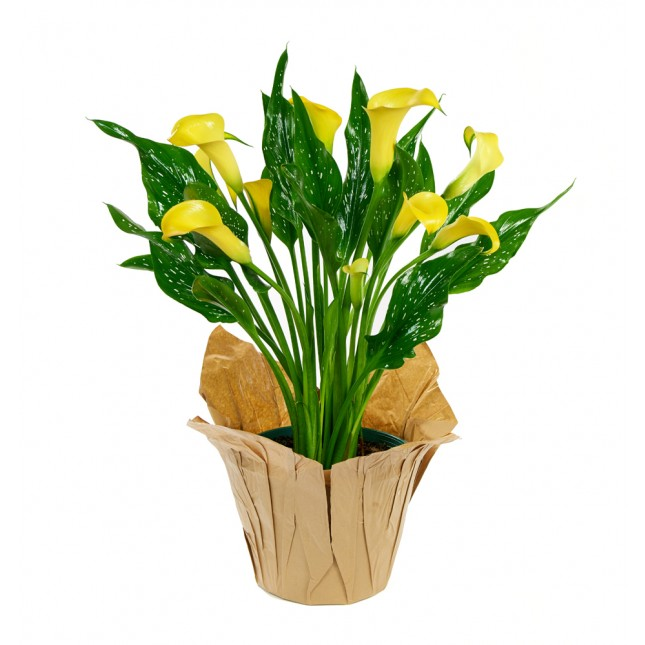 Yellow Calla Lily Plant (15 Inches Tall) in a 6 Inch Kraft Covered Pot