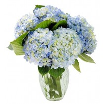 Blue Summer Hydrangeas ( 6 Blue Hydrengea )