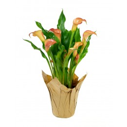 Peach Calla Lily Plant (15 Inches Tall) in a 6 Inch Kraft Covered Pot