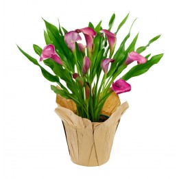 Purple Calla Lily Plant (15 Inches Tall) in a 6 Inch Kraft Covered Pot