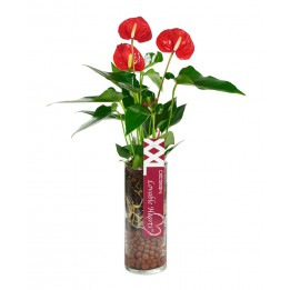 Red Anthurium Plant (15 Inches Tall) in a Cylinder Glass Vase