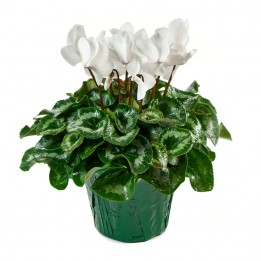 White Cyclamen Plant (12 Inch Tall) in a 6 Inch Green Covered Pot