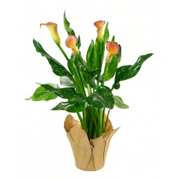 Peach Calla Lily Plant (15 Inches Tall) in a 4.5 Inch Kraft Covered Pot