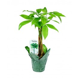 Braided Money Tree Plant (15-18 Inches Tall) in a 4.5 Inch Green Covered Pot