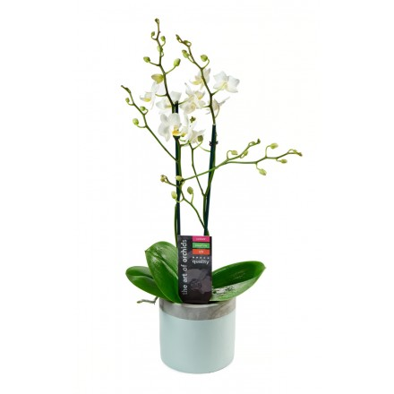 White Phalaenopsis Orchid Plant (18-24 Inches Tall) in a Ceramic Bowl Pot