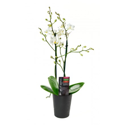 White Phalaenopsis Orchid Plant (18-24 Inches Tall) in a Black Ceramic Euro Bowl Pot
