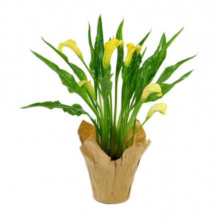 Yellow Calla Lily Plant (15 Inches Tall) in a 4.5 Inch Kraft Covered Pot