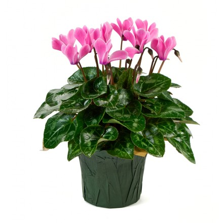 Pink  Cyclamen Plant (12 Inch Tall) in a 4.5 Inch Green Covered Pot