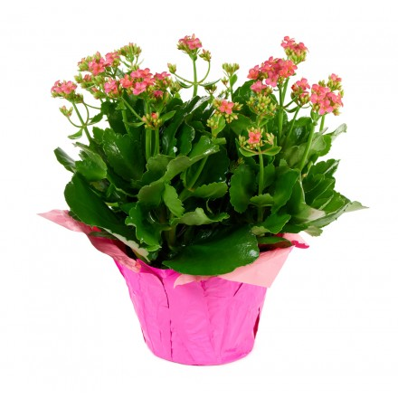 Pink Kalanchoe Plant (15 Inch Tall) in a 6 Inch Orange Covered Pot